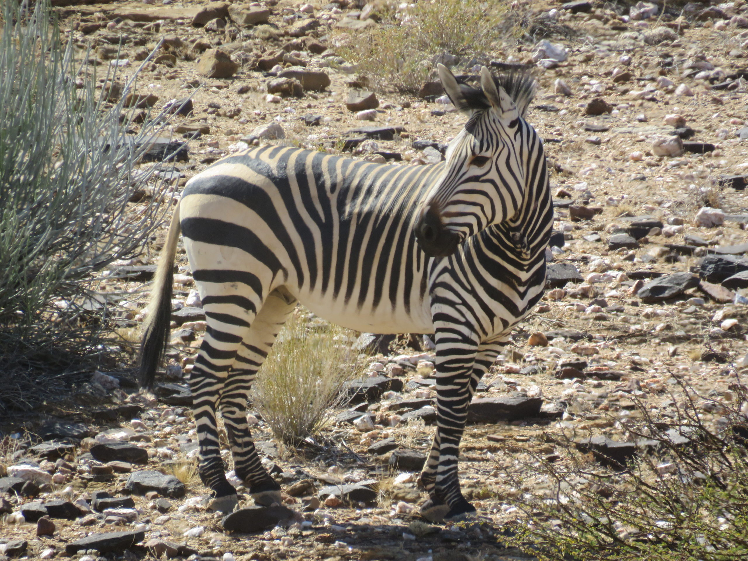 Zebra in Augrabies National Park - 2017.jpg